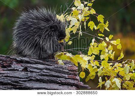 Porcupine (erethizon Dorsatum) Sits In Profile Eating Leaves Autumn - Captive Animal