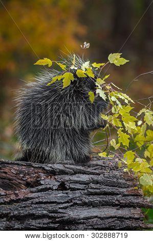 Porcupine (erethizon Dorsatum) Branch Overhead Munching Autumn - Captive Animal