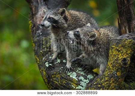 Pair Of Raccoons (procyon Lotor) Conflict In Tree Autumn - Captive Animals