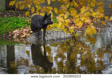 Silver Fox (vulpes Vulpes) Looks Right From Atop Rock Autumn - Captive Animal