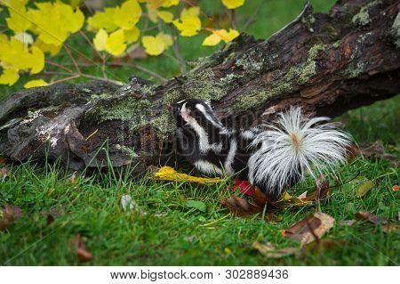 Eastern Spotted Skunk (spilogale Putorius) Steps Up On Log Autumn - Captive Animal