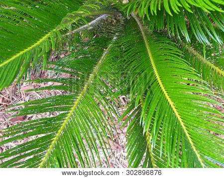 This Sago Palm Is Infested With Asian Cycad Scale Insects That Appear As White Spots. The Scale Is D