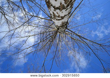 Birch Tree Without Leaves From Below View.