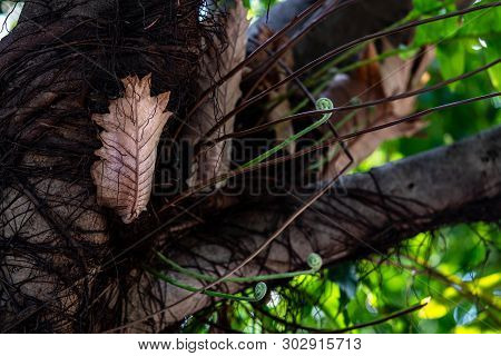 Epiphytes Fern On Tree ,young Brown And Green Fronds Leaves Of Drynaria Roosii Or Basket Fern Grows
