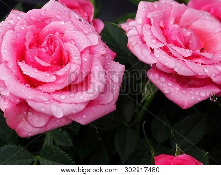 Bright Pink Roses With Water Drops Close Up
