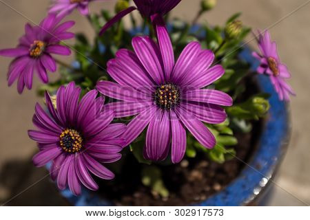 A Small Blue Pot Of Vivid Purple African Daisies, The Foreground Flower In Focus And The Background