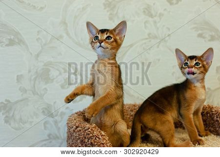 The Abyssinian Kittens A Play Funny, Cat