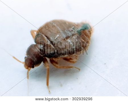A Picture Of Bedbug Isolated On White Background