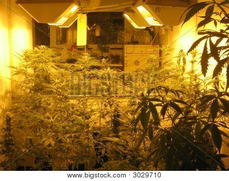 Cannabis Plantation In Amsterdam, Netherlands