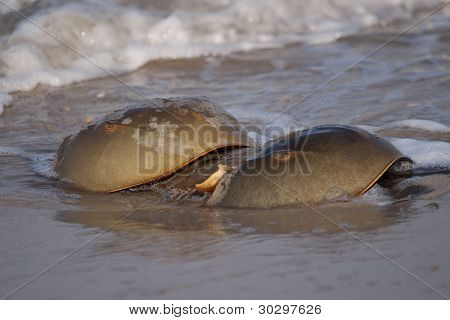 Horseshoe crabs in the New Jersey surf in spring when they come ashore to mate and lay eggs in an ancient sea and land life ritual. poster