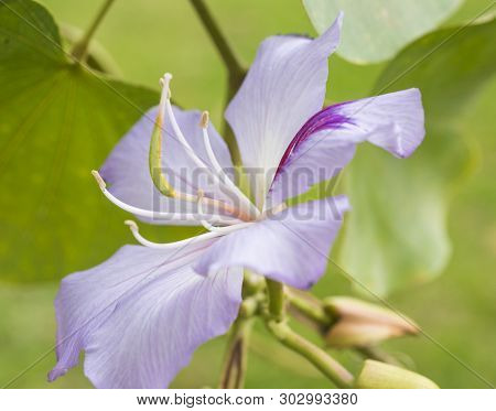 Close-up Detail Of A Lilac Purple Orchid Tree Bauhinia Flower With Petals And Stigma In Garden