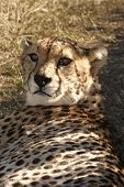 cheetah lying down in the shade late in the day poster