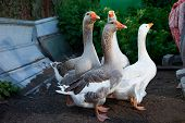 four geese walking on the farm during summer day poster