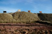 four cows on the top of some dunes in kerry ireland grazing in green pastures poster