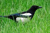 A bird-magpie walks in fresh green grass. Ornithology. Daylight. poster