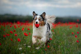 Australian Shepherd In A Field Of Poppies. Happy Dog Playing In The Flower Meadow.