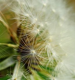 Dandelion Flower Seeds Blowing In The Wind Stock Photo