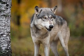 Grey Wolf (canis Lupus) Looks Out By Tree Autumn - Captive Animal