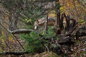 Grey Wolf (canis Lupus) Climbs Into Root Bundle Autumn - Captive Animal