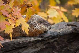 Woodchuck (marmota Monax) Sits On Log With Autumn Leaves - Captive Animal