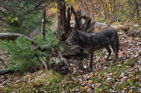 Grey Wolves (canis Lupus) Stand Next To Root Bundle Autumn - Captive Animals