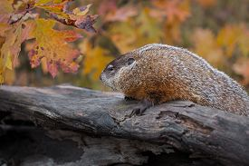 Woodchuck (marmota Monax) Looks Left Atop Log Autumn - Captive Animal