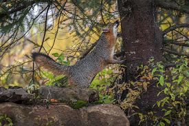 Grey Fox (urocyon Cinereoargenteus) Looks Up Side Of Tree Autumn - Captive Animal