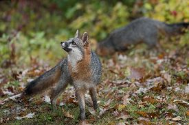 Grey Fox (urocyon Cinereoargenteus) Looks Ups Another In Background Autumn - Captive Animals
