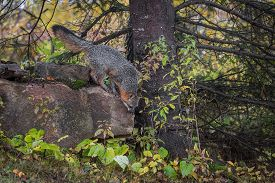 Grey Fox (urocyon Cinereoargenteus) Looks To Jump Down Rock Autumn - Captive Animal