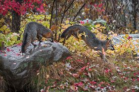 Grey Fox (urocyon Cinereoargenteus) Jumps Off Rock Another Atop Autumn - Captive Animals