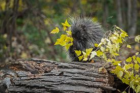 Porcupine (erethizon Dorsatum) Munches On Leaves On Branch Autumn - Captive Animal