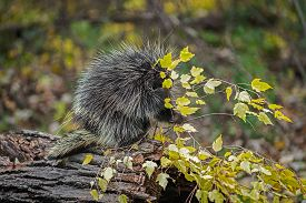 Porcupine (erethizon Dorsatum) Grabs At Leafy Branch In Rain Autumn - Captive Animal