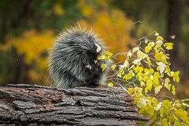 Porcupine (erethizon Dorsatum) Chews On Leaves In Rain Autumn - Captive Animal