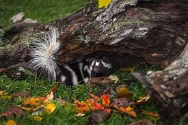 Eastern Spotted Skunk (spilogale Putorius) Turns Around Under Log Autumn - Captive Animal
