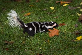 Eastern Spotted Skunk (spilogale Putorius) Quickly Runs Right Autumn - Captive Animal