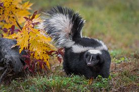 Striped Skunk (mephitis Mephitis) Turns Left Tail Up Autumn - Captive Animal