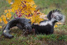 Striped Skunk (mephitis Mephitis) Sniggs At Log Autumn - Captive Animal