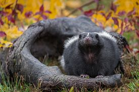 Striped Skunk (mephitis Mephitis) Looks Up From Log Autumn - Captive Animal