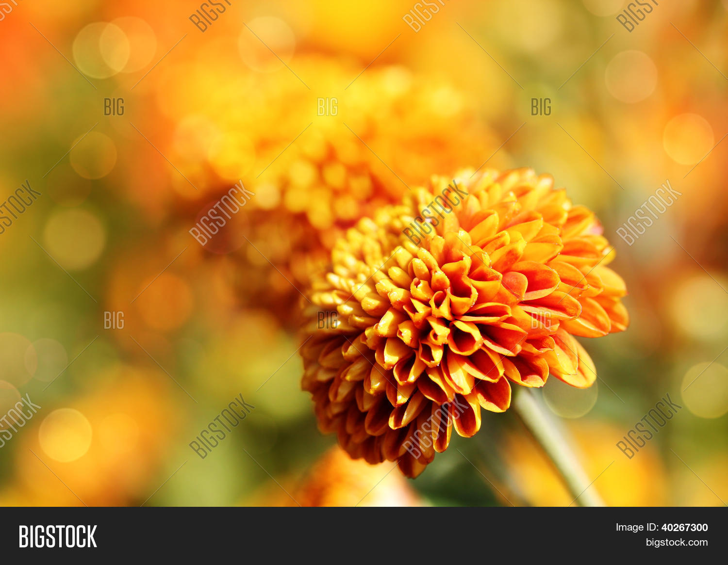 Beautiful Orange Image Photo Free Trial Bigstock