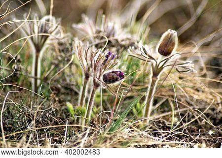 Pulsatilla Vernalis (pulsatilla Montana). Black Pulsatilla. Spring Flower