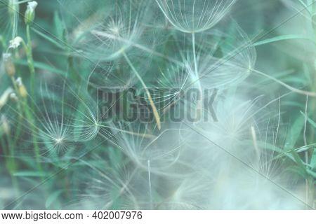 Defocused Gentle Dandelion Seeds .dandelion Seeds Macro. Abstract Nature Background.white-green Natu