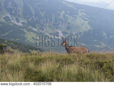 Tatra Chamois, Rupicapra Rupicapra Tatrica Standing On A Summer Mountain Meadow In Low Tatras Nation