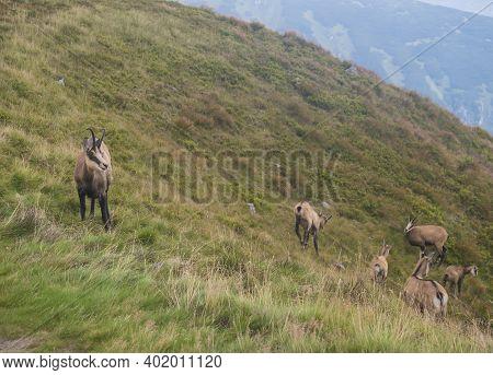 Group Of Tatra Chamois, Rupicapra Rupicapra Tatrica Standing On A Summer Mountain Meadow In Low Tatr