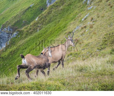 Close Up Adult And Young Tatra Chamois, Rupicapra Rupicapra Tatrica Walking On A Summer Mountain Mea