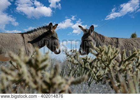 Wild Burros at Red Rock Canyon National Conservation Area outside of Las Vegas Nevada.