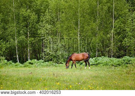 Close Up Image Of A Red Bay Horse Grazing In Summer Pasture. The Horse Grazes In The Spring.