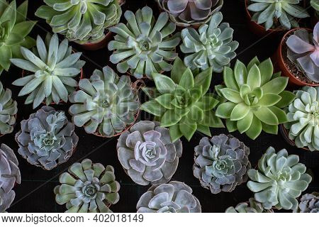 Exotic Potted Plants Background, Succulent Echeveria Top View, Natural Fresh Green Echeveria Cactus