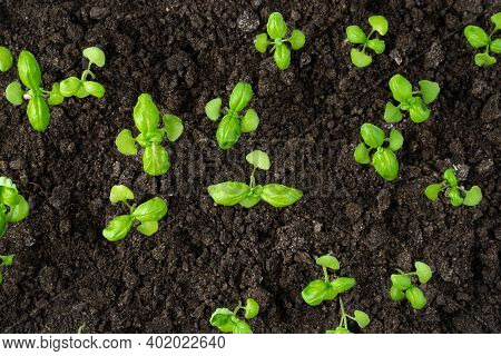 Basil Germinates In The Soil, Seedlings. The View From The Top.