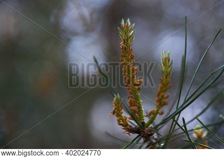Young Cones On A Tree Branch. Young Shoots And Pine Cones Close-up. Small Pine Cones And Young Spruc