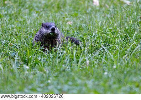 Groundhog (marmota Monax), Also Known As A Woodchuck, Feeding On Grass During Summer. Selective Focu